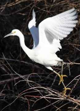 03January2011  Snowy Egret at the Water Ranch at the Riparian Institute